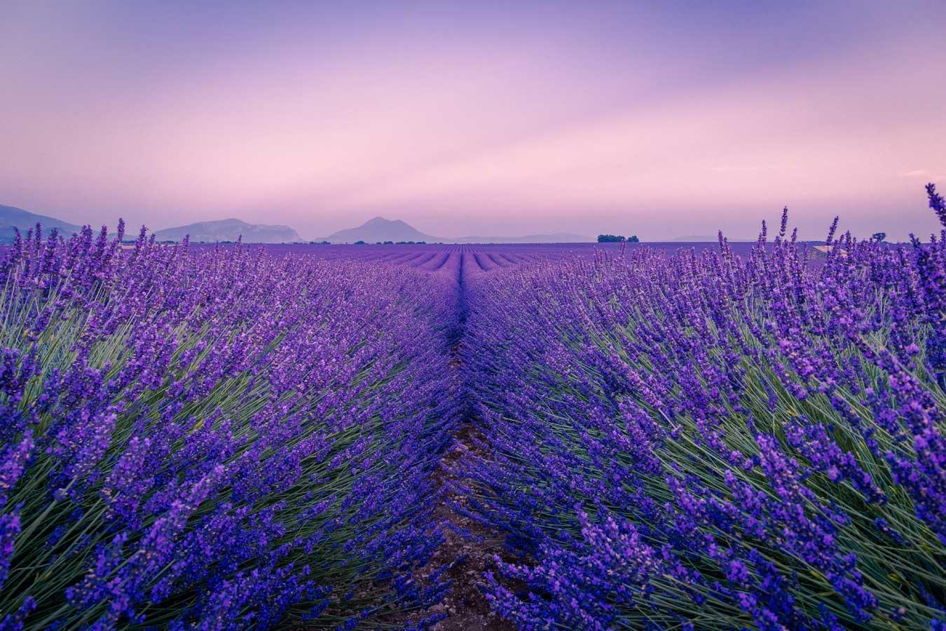 Provence, Lavendelfeld